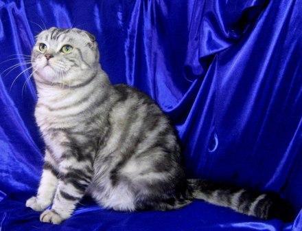 Продаются шотландские вислоухие и британские котята.